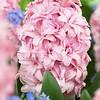 Hyacinth Prince of Love
