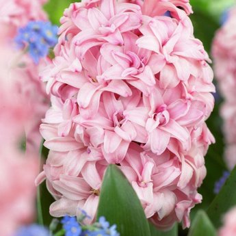 Hyacinthus Prince of Love