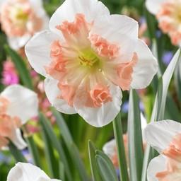 Daffodil Mallee