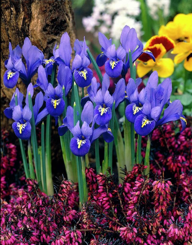iris reticulata tulip store. Black Bedroom Furniture Sets. Home Design Ideas