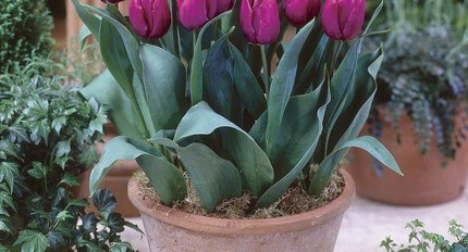 tulips for the pot