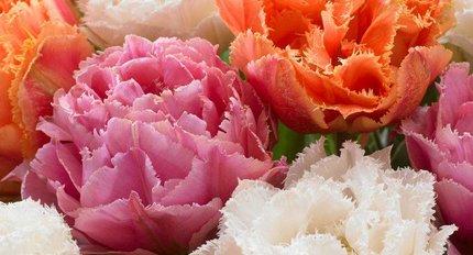Neue Tulpen