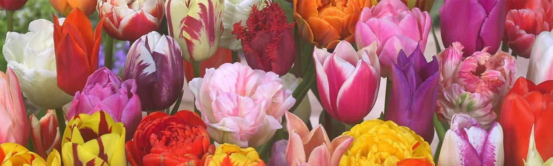 Tulip Store 75 days Mix
