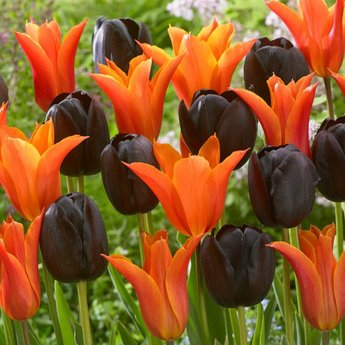 Tulipa Tangerine Chocolate Delight