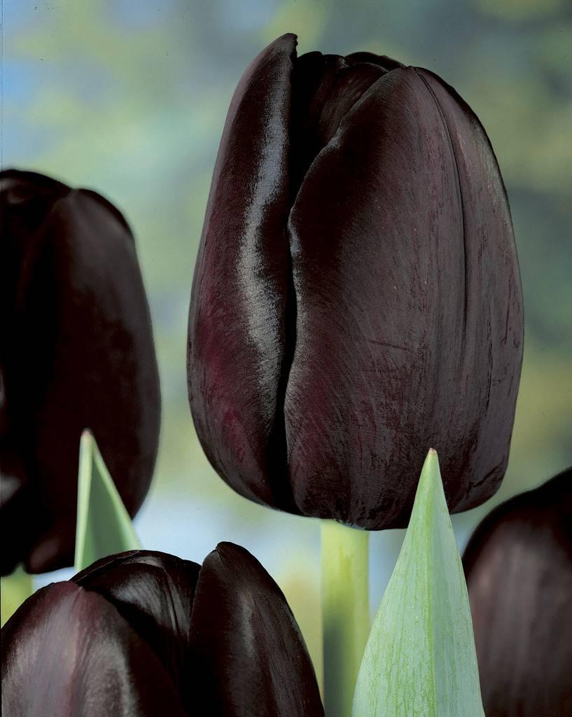 Tulip mixture Tangerine Chocolate Delight - Tulip Store
