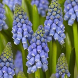 Muscari armeniacum - Copy