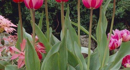 ökologische Tulpen