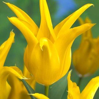 Tulipa Tequila Sunrise