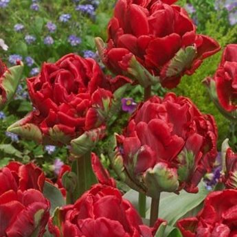 Tulipa Rococo Double
