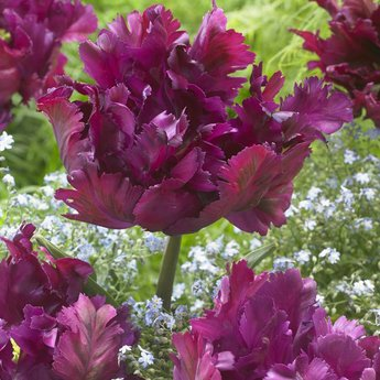 Tulipa Negrita Parrot