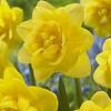 Daffodil Sherborne