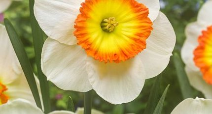 All daffodils