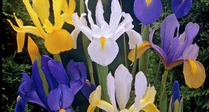 Irisses