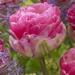 Tulpe Pink Size