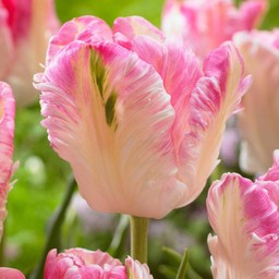 Tulpe Cabanna