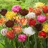 Tulpen Mischung Exclusive Tulips