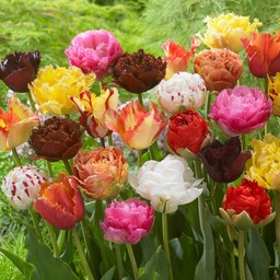 Tulpen Mischung Exclusive Tulips