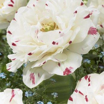 Tulipa Exclusive Tulips