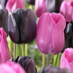Tulpen Mischung Liquorice Candy