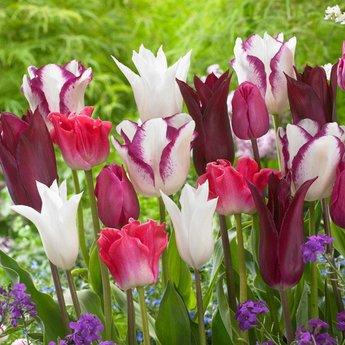 Tulipa Purple Heart