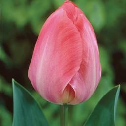Tulpe van Eijk