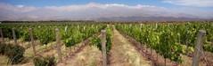 Mendoza wijn