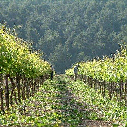 Israëlische wijn