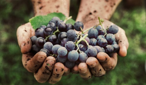 Wijnoogst met 30% gedaald in 2017!