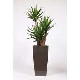 Yucca Elephantipes ↨ 180 cm Ø 40 cm