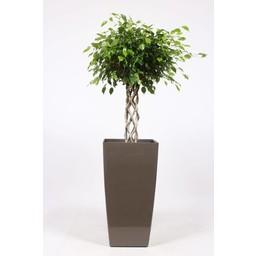 Ficus Benjamina 'Exotica' ↨ 180 cm Ø 40