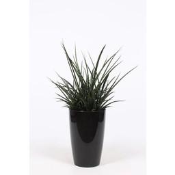 Sansevieria Fernwood ↨ 80 cm Ø 29 cm
