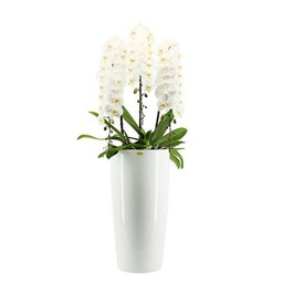 Phalaenopsis Janpanse moutain + watermeter ↨ 130cm Ø 33cm