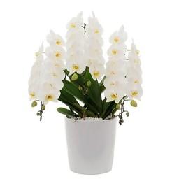 Phalaenopsis Janpanse moutain + watermeter ↨ 60 cm Ø 33 cm