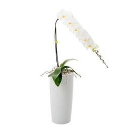 Phalaenopsis Janpanse moutain 1 tak + watermeter↨ 80cm Ø 30cm