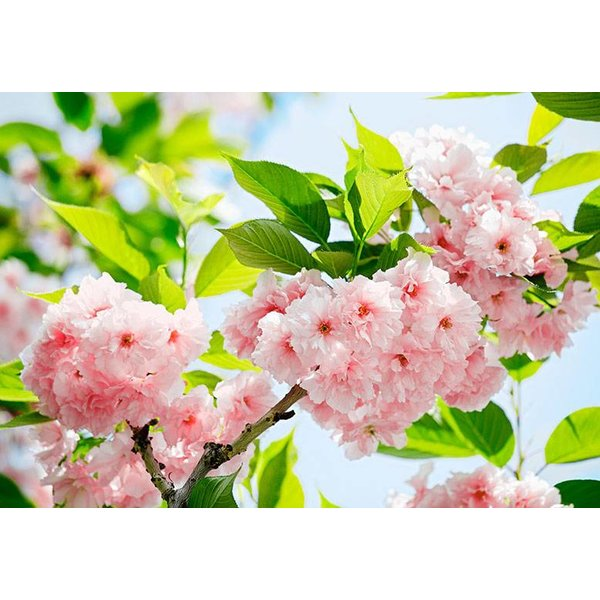 Dutch Wallcoverings Wizard & Genius fotobehang Sakura blossom 00133