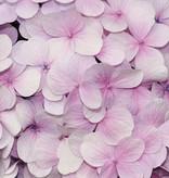 Dutch Wallcoverings Fotobehang Hyacinth roze