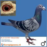 """Jacob Poortvliet NL.12-1117397 """"Inbred Eddy"""""""