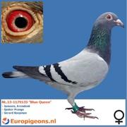"""M & C van Koppen NL.13-1179135 """"Blue Queen"""""""