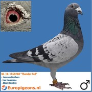 """Koos van Koppen NL.14-1166248 """"Thunder 248"""""""
