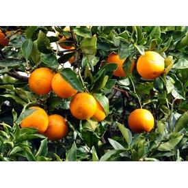 1 Kg Frische Orangen direkt vom Baum