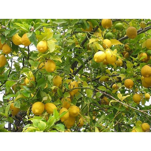 1 Kg Fresh lemons directly from the tree