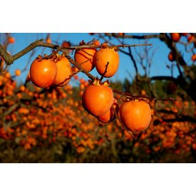 1 Kg persimmon, delivered to you directly from the tree