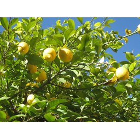 Frische Zitronen, frisch geerntet!