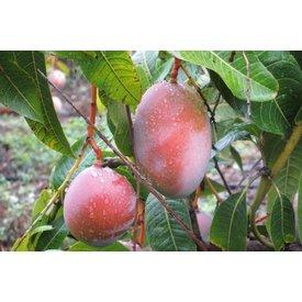 Frische Mango, direkt vom Baum , einmalig im Geschmack
