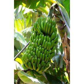 1 kg platano - spanish banana