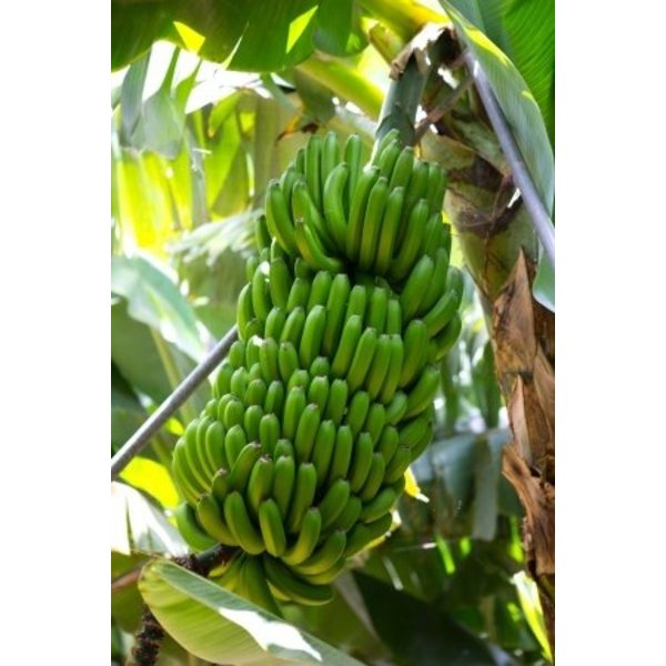 1 Kg Platanos - ähnelt den Bananen - kleiner und süßer