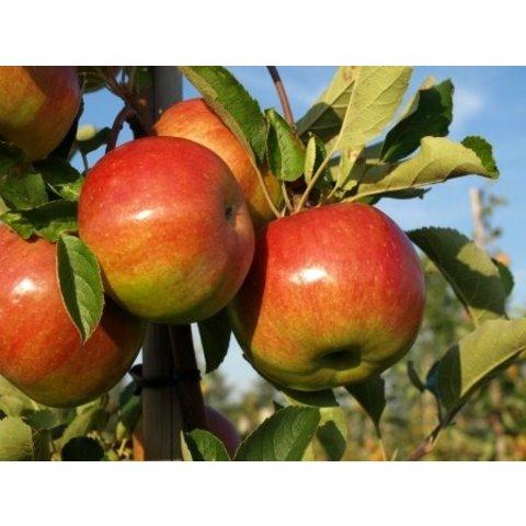 Frische Äpfel - unbehandelt - 20 Kg