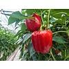 1 Kg fresh red pepper