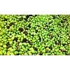 1 Kg Oliven roh