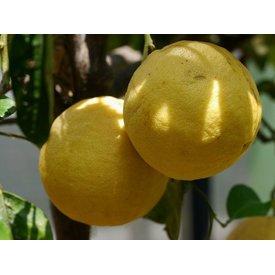 1 Kg gelbe Grapefruit, frisch vom Baum